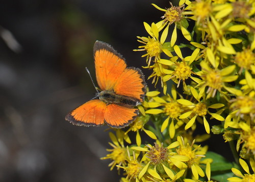 Scarce copper (Chrysophanus Virgaureae)