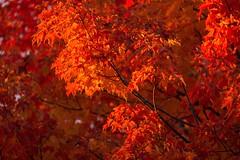 High Park Leaves 7 (josullivan.59) Tags: park autumn trees red wallpaper orange fallleaves toronto ontario canada detail fall texture nature evening day highpark autumnleaves 3exp canon6d tamron150600