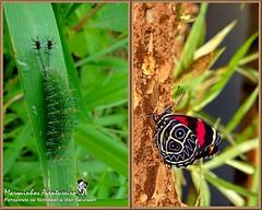 Metamorfose - Callicore sorana (Marquinhos Aventureiro) Tags: brazil brasil butterfly wildlife natureza caterpillar vida borboleta floresta lagarta metamorphosis metamorfose metamorphose selvagem sorana callicore hx400