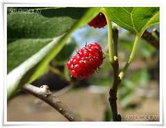 Amora / Blackberry (Ju Emery) Tags: brazil nature brasil fruit yard backyard blackberry natureza fruta delicious jardim quintal brasilia amora delicia bsb juemery