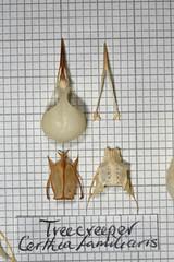 Treecreeper (JRochester) Tags: skeleton skull bones bone pelvis sternum mandible treecreeper certhia familiaris