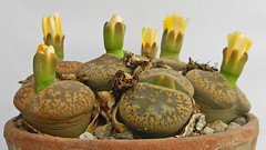 Lithops aucampiae. [Kuruman form, C 012., South Africa, 10 km E of Kuruman] (1) (Succulents Love by Pasquale Ruocco (stabiae)) Tags: southafrica succulent lithops mesembryanthemum namibia mimicry succulents stabiae mimetismo piantegrasse aizoaceae succulente mesembryanthemaceae cactusco mesembs fulviceps floweringstones sassifioriti pasqualeruocco mesembryanthema succulentslove forumcactusco