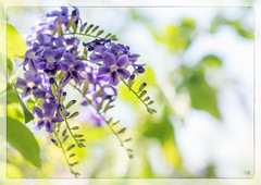 Purple (Mr Saint) Tags: flower flora purple shrub duranta geishagirl