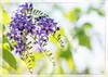 Purple (Mr Saint) Tags: flower flora purple shrub duranta geishagirl