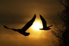Silhouette Gulls..x (Lisa@Lethen) Tags: winter sky cloud sun bird nature weather silhouette scotland