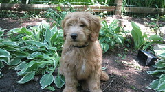 chester-gardening--hes-one-of-molly-and-chewy-boys-_4587642398_o