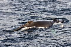 DSC02085 (wietsej) Tags: sony greenland whale 70200 a700 sal70200g wietsejongsma