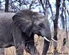 South Africa--Kruger Two 007 (REBlue) Tags: southafrica mpumalangaprovince krugernationalpark africanelephant bigfive