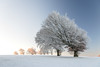 Windbuchen (beatriceverez) Tags: beech windy tree winter snow frost sunrise windbuchen schauinsland