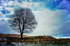 The Lone Tree and the Sheep (Missy Jussy) Tags: lonetree tree sheep hillside clouds sky sunlight snow piethornevalley rochdale landscape lancashire england silhouette canon canon50mm canon5dmarkll