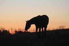 IMG_8402 (jroltmanns_) Tags: lexington woodfordcounty woodford bourbon kentucky bluegrass horse horses fayette fall sunset november cold thoroughbred racehorse silhouette silhouettes horsesilhouette country countryside hillside hills hill beautiful pretty sundown nightfall racehorses landscape landscapes versailles midwest south
