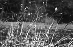 Untitled (odeleapple) Tags: leica lllf elmar 50mm f28 neopan100acros film monochrome bw weed dry
