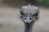 Avestruz (José M. Arboleda) Tags: ave avestruz struthiocamelus zoológico cali colombia canon eos 5d markiv ef70200mmf4lisusm extenderef14xii jose arboleda josémarboledac