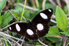 Hypolimnas bolina (Philippe Lécuyer) Tags: greateggfly male wildlife canon7dmarkii butterfly papillon nymphalinae nymphalidae hypolimnasbolina nature eggfly