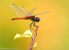 Dragonfly (Modestus Lorence) Tags: dragonfly singapore marinabarrage canon1dxmarkii canon300mmf28isii