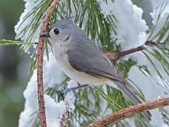 Tufted Titmouse_29Jan2017 (Bob Vuxinic) Tags: tuftedtitmouse baeolophusbicolor snowybranch cumberlandplateau crossvilletennessee 29jan2017 bird