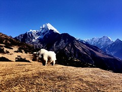 Everest base camp trekking #yak #mountain #BigSkyTreks #namchebazar #trekkinginnepal #everestbasecamp #visitnepal #gokyotrek #nepal (Big Sky Treks) Tags: yak mountain bigskytreks namchebazar trekkinginnepal everestbasecamp visitnepal gokyotrek nepal