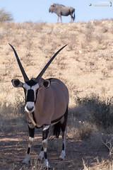 Gemsbok (dieLeuchtturms) Tags: 2x3 africa afrika antilopen antilopinae artiodactyla auob blauesgnu bovidae connochaetestaurinus dornbuschsavanne dornstrauchsavanne gemsbok hippotragini hornträger ktp kalahari kgalagadi kgalagaditransfrontierpark oryx oryxantilope paarhufer pecora pferdeböcke ruminantia southafrica spiesbock stirnwaffenträger streifengnu säugetiere südafrika vertebrata vertebrates wiederkäuer wirbeltiere bluewildebeest brindledgnu commonwildebeest mammals whitebeardedwildebeest
