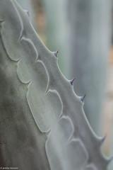 Franklin Park Conservatory  - Sigma 50mm Art (bizzano) Tags: asseenincolumbus sigma 50mmart centuryplant columbus franklinparkconservatory ohio canon apsc cropsensor 80d