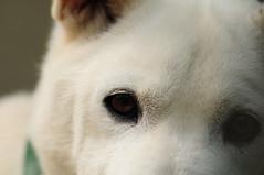 Dog's eye(犬の視線) (daigo harada(原田 大吾)) Tags: eye 犬 目