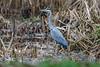 _F0A7496_DxO.jpg (Kico Lopez) Tags: ardeacinerea galicia garzareal lugo miño spain aves birds rio