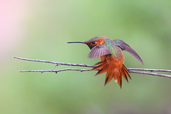 Stretching (bmse) Tags: male allen hummingbird stretching canon 6d 400mm f56 l bmse salah baazizi wingsinmotion