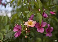 Roses... Parc de Cervantes. (svet.llum) Tags: rosa parque parc parcdecervantes barcelona catalunya cataluña planta verano