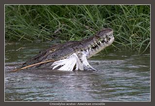 American crocodyle, explored