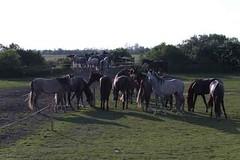 _le00323 (lotharlenz) Tags: shagyaaraber herde babolna