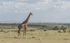 Scanning the plain (tickspics ) Tags: africa giraffatippelskirchi iucnredlistvulnerable kenya maasaimara masaigiraffe masaimara masaimaranationalreserve themara formerlygiraffacamelopardalistippelskirchi