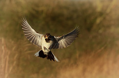 Reed Bunting [Explored 24/01/2017] (Nickerzzzzz - Thanks for stopping by :)) Tags: ©nickudy nickerzzzzz theartofphotography photography canon5d3 ef100mmf28lmacroisusm photograph wildlife nature bird outdoor bif uk feathers flight reedbunting rspbgreylake somerset emberizaschoeniclus ♂ male buntings emberizidae