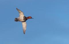 081_1669 (Baffledmostly) Tags: birds slimbridge wwt actions flying male pochard