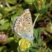 Common Blue Polyommatus icarus  form celina . Female