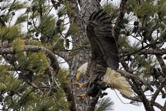 BC Female Bald Eagle 4 (Jason Blalock) Tags: haliaeetusleucocephalus eagle baldeagle raptor bird birdofprey americanbaldeagle berryeagle berrybaldeagle berrycollegeeagle berrycollegebaldeagle