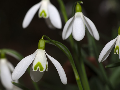 Snowdrops in the forest of Oftersheim
