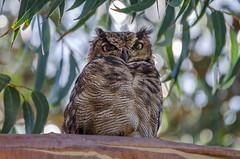 Tucúquere | Bubo virginianus magellanicus | Magellanic horned owl (lalo_pangue) Tags: birds birdwatching nature nationalparks frayjorgenationalpark parquenacionalfrayjorge naturaleza d7000 nikon owls búho observacióndeaves coquimbo regióndecoquimbo