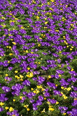 Conservatory flower bed (Sparky the Neon Cat) Tags: europe united kingdom uk great britain gb england northumberland wallington walled garden crocus purple ruby giant flower conservatory bed yellow aconite