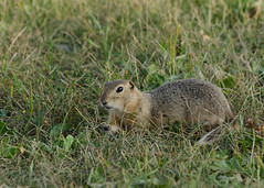 DSC_0357 (janelle.streed) Tags: groundsquirrel mammal animal rodent nature wildlife outdoors northdakota usnwr