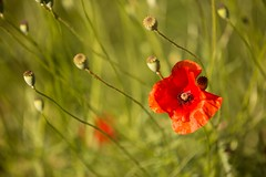 1 Coquelicot (cedric@mkolabs.com) Tags: ifttt 500px art bokeh cusy coquelicots fleurs flowers grass green macro red