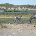 Zebras an einer Wasserstelle