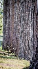 7 trees standing tall (Sharon's Shotz) Tags: trees ontario bark seven day250 ontarioyourstodiscover landolakes ruralontario 250365 canoneos7d canon7d 365the2015edition 8sep15