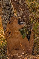lion10July24-15 (divindk) Tags: africa tanzania cub teeth lion pride safari mara hunter serengeti predator africansafari africanlion pantheraleo serengetinationalpark