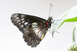 Catasticta flisa butterfly Colombia