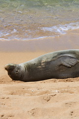 MONK SEAL 6520 CLS (calypte) Tags: kauai hawaiian monkseal neomonachusschauinslandi