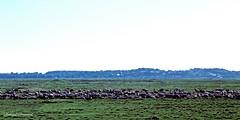 Baie de Somme  (33) - Les prs-sals (roland dumont-renard) Tags: moutons picardie baie prssals somme baiedesomme cayeuxsurmer troupeau lecrotoy lehourdel ctepicarde pointeduhourdel baschamps