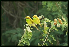 Twins! (Mitesh S) Tags: india green birds canon rebel pashan pune xsi beeeater 450d 55250mm