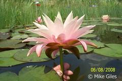 FairySkirt3 (Waterlelie.be) Tags: skirt fairy westvirginia nymphaea fairyskirt verenigdestatenvanamerika noordamerika mikegiles nymphaeafairyskirt