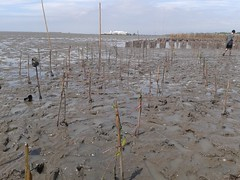10.12.2015-AngloSingapore-BangPu-100 trees (24) (pattfoundation2014) Tags: thailand education mangrove treeplanting bangpu pattfoundation anglosingapore