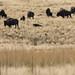 Novamente os bisontes