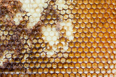 Honeycomb (AndiVanPhotog) Tags: family friends people nature sweet bees smoke harvest insects science honey local pollen honeycomb localhoney bottled harvesting honeybees familyowned douglasvillega tyndallhoneyharvest2015 psbeefarm